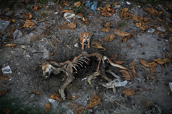 This image won Gold in the Nature & Environment News, Singles. A puppy stands by remains of a dog local residents said was its mother, days after it was killed in an area burnt in violence at East Pikesake ward in Kyaukphyu, Myanmar. Picture taken November 6, 2012.  PHOTO: Minzayar/ Reuters