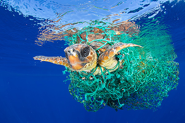 A loggerhead sea turtle swims entangled in abandoned fishing gear, off the coast of Tenerife, Canary Islands, in the northeast Atlantic Ocean. The loggerhead is classed as a 'vulnerable' species globally by the International Union for Conservation of Nature, but the northeast Atlantic subpopulation is listed as 'endangered'. Entrapment in nets intended for other species, and in gear left abandoned by fishing boats is the prime threat to marine turtles, followed by human consumption of meat and eggs, and coastal development affecting their habitat.